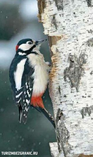 Зимой в пуще царит тишина, которую прерывают размеренный стук дятлов.
