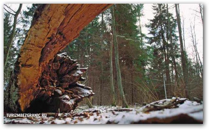 В глубине пущи деревья доживают до своего максимального возраста и падают от старости